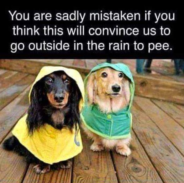 Pin By Pauline Herter On Couplings Funny Dogs Dachshund Dog Dogs