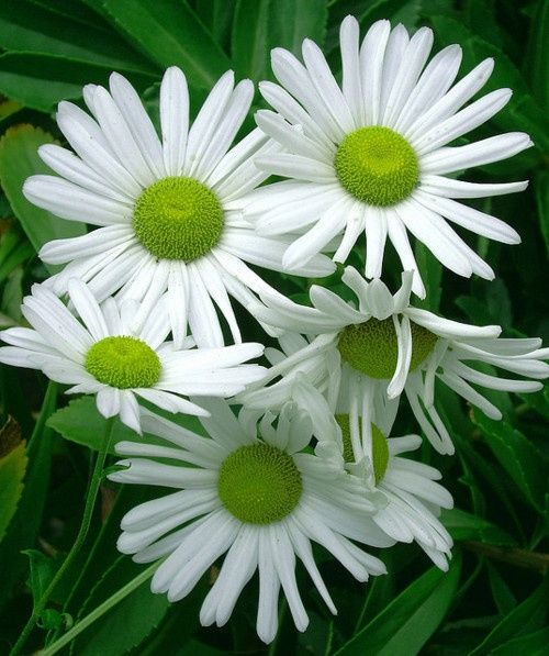 White Daisies With Green Centers Tree Of Life Other Flowering