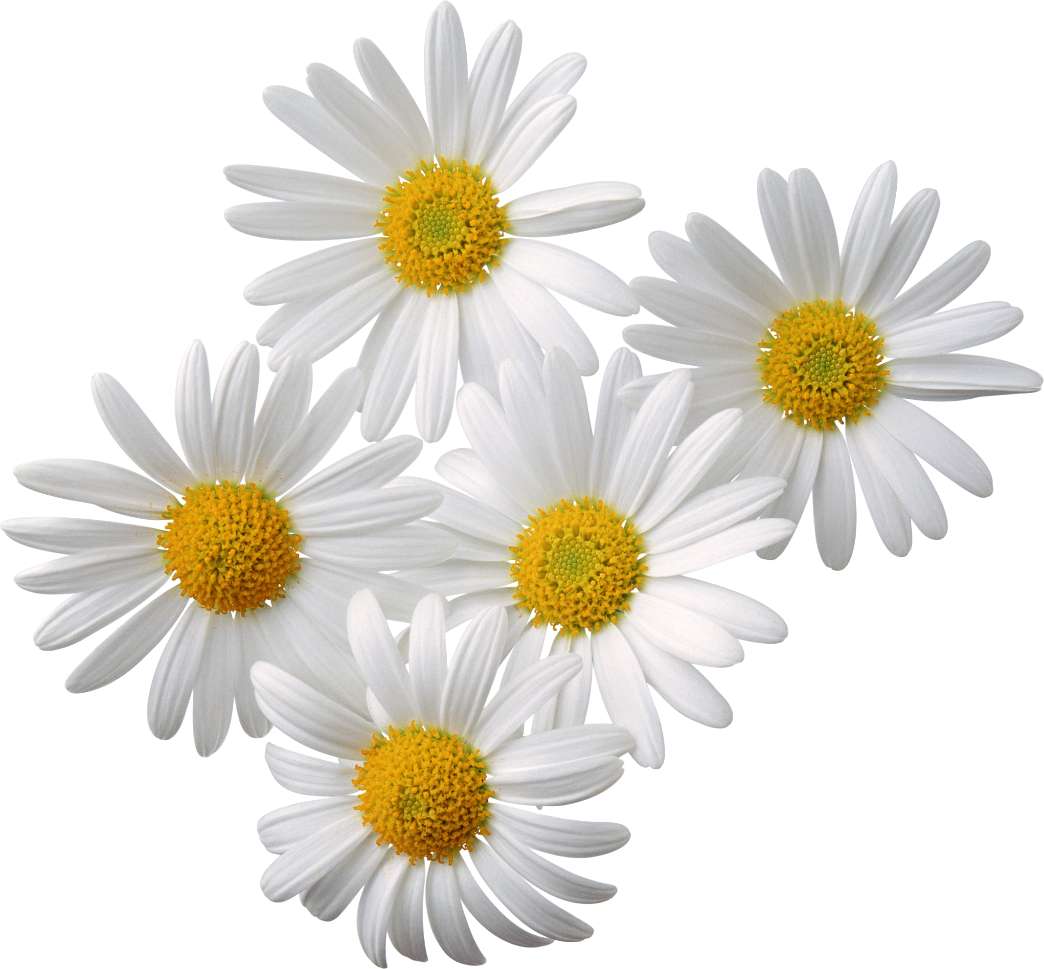 Real Flowers Png Camomiles PNG image, f...