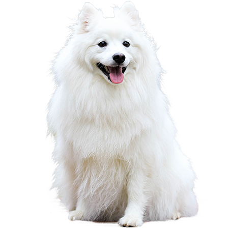 A cutout picture of a fluffy white dog with pointy ears