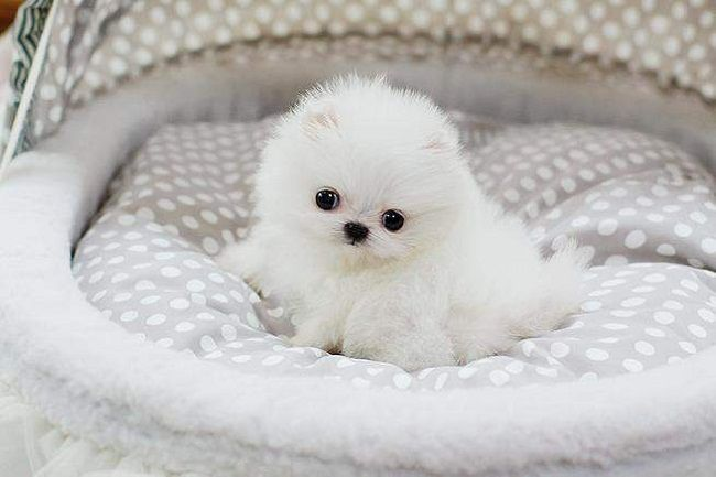 Pomeranian Puppies For Sale In Philippines Zoe Fans Blog