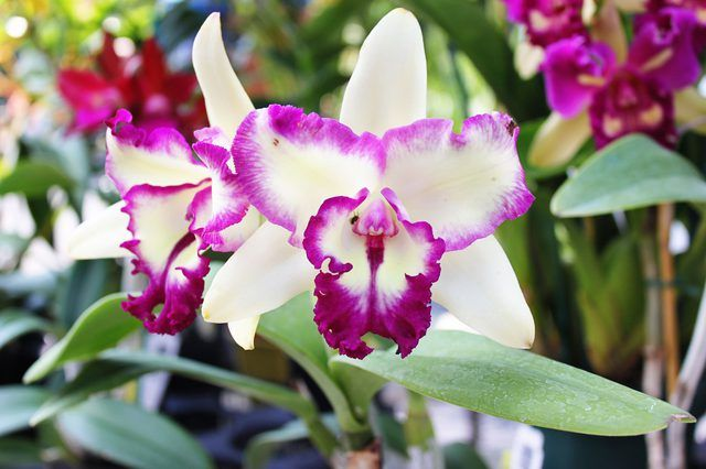The orchid family (Orchidaceae) includes approximately 600 genera and about 30,000 natural species worldwide. Orchids thrive in U.S. Department of Agriculture plant hardiness...