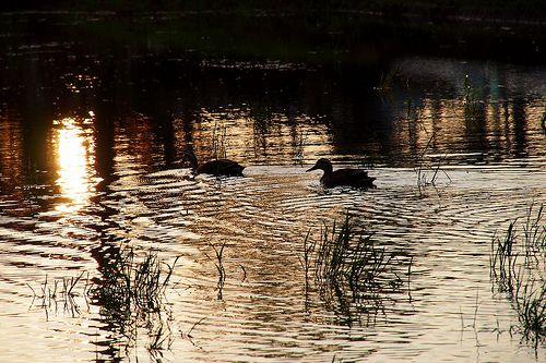 Duck pair in Tsukuba