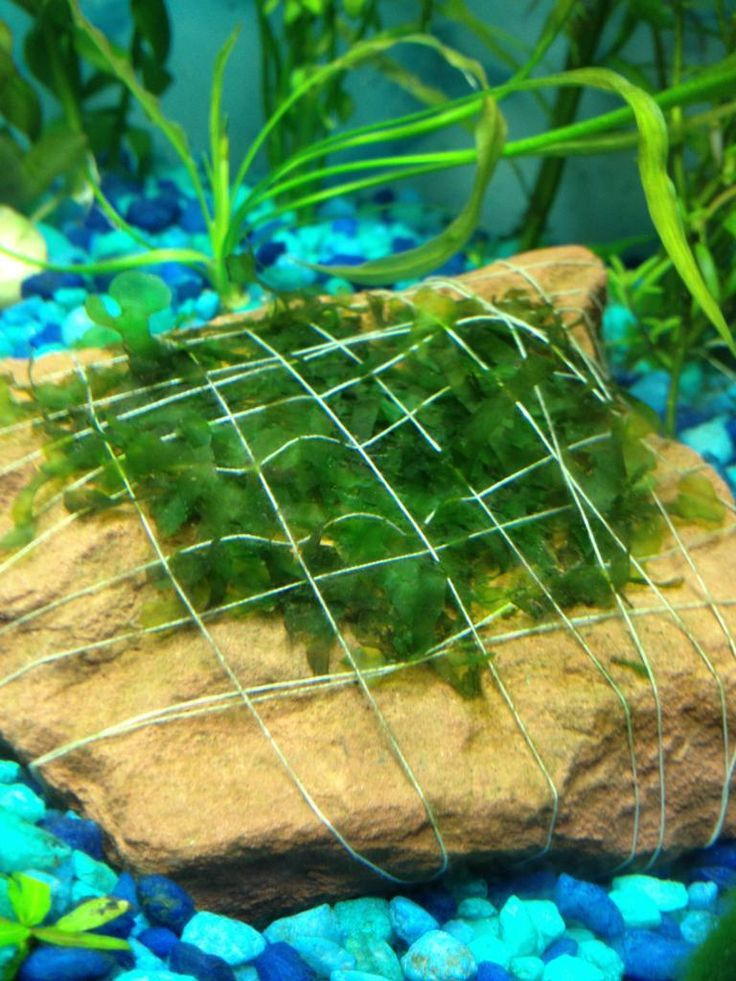 How to attach aquarium plants to a rock | Aquarium ...