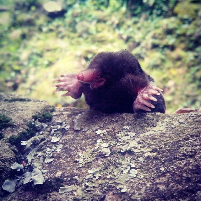 Una Talpa!! #animali #mose