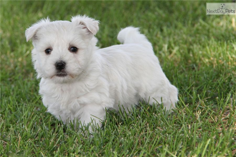 Pin By Lynda Melone On Westies Westie Puppies For Sale White Terrier Westie Puppies