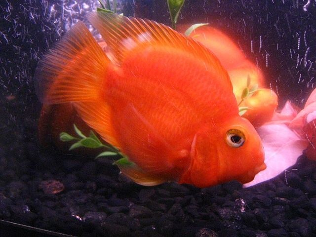 Freshwater Parrot Fish Google Search Parrot Fish Fish Tropical Freshwater Fish