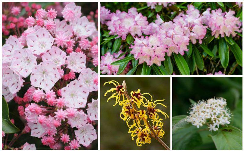 Shade Tolerant Flowering Shrubs: 10 Shade-Tolerant Flowering Shrubs