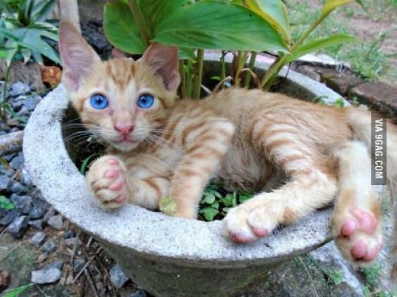 Blue-eyed ginger kitten resting in a flower pot. #kittens #ginger #kittens #gingerkitten #gingerkitten