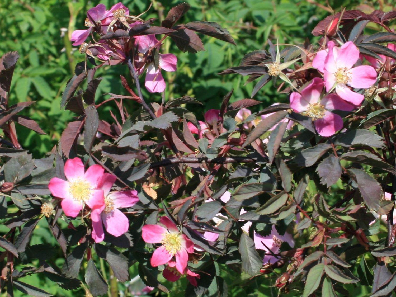Wildrose hechtrose rotbl ttrige rose glauca rosa glauca garten rosen garten und - Horstmann garten ...