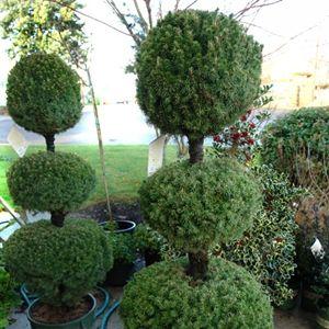 Alberta Spruce Topiary Dwarf Alberta Spruce Picea Glauca