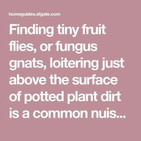 How to Get Rid of Fruit Flies Breeding in Plant Dirt Finding tiny fruit flies, or fungus gnats, loitering just above the surface of potted plant dirt is a common nuisance for indoor gardeners. These pests feed on the decaying organic matter and fungi ... #gnats #gardeners #loitering #breeding #nuisance #decaying #finding #surface #organic #indoor #matter #common #potted #fungus #these #pestsHow to Get Rid of Fruit Flies Breeding in Plant Dirt Finding tiny fruit flies, or fungus gnats, loitering #gnats