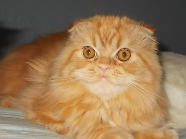 Orange Tabby Kittens For Sale Cute Cats Pictures