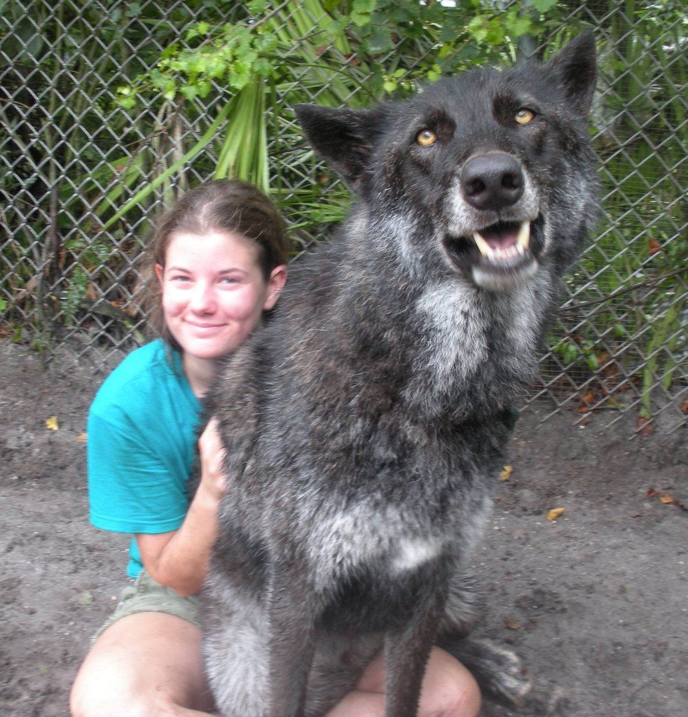 Yuki Huge Dogs Giant Dogs Pets