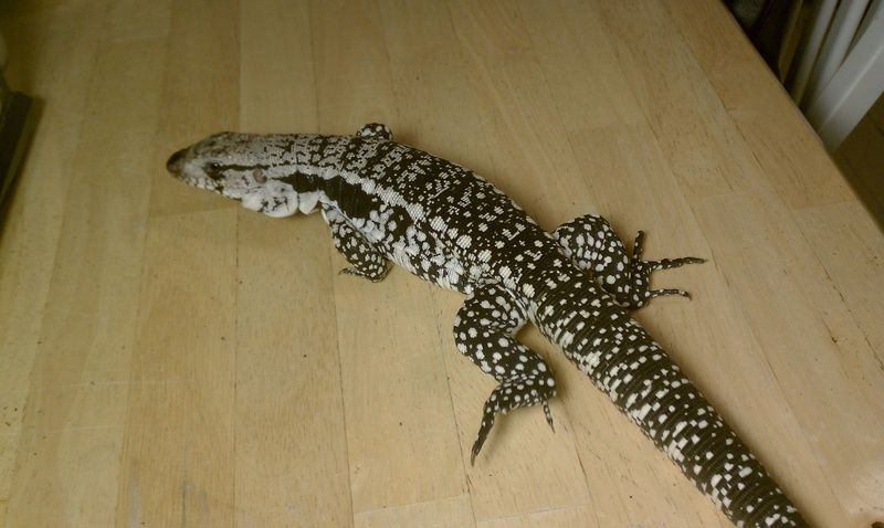 Argentine blue tegu (there is also a red tegu and a black