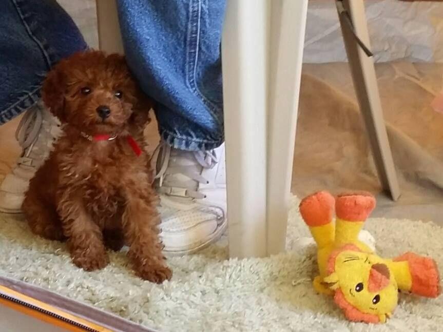 Little Red Angel Scarlet S Fancy Poodles Red Akc Pooldes Toy