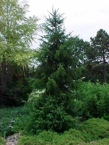 Kat Nurseries Picea Omorika
