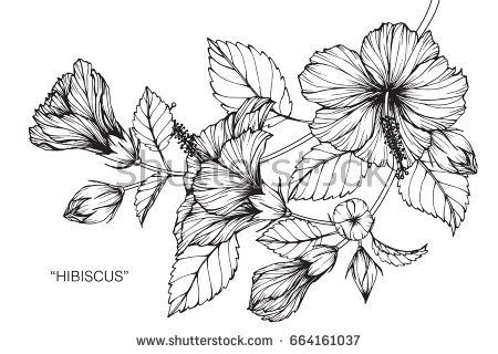 Hibiscus Flowers Drawing And Sketch With Line Art On White Backgrounds