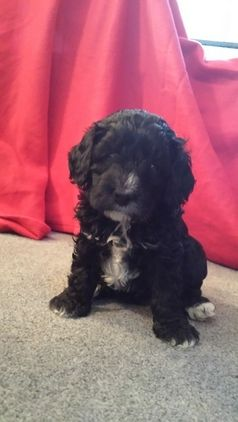 Pin By Danielle Smith On Puppy Love Cockapoo Puppies Puppies For Sale