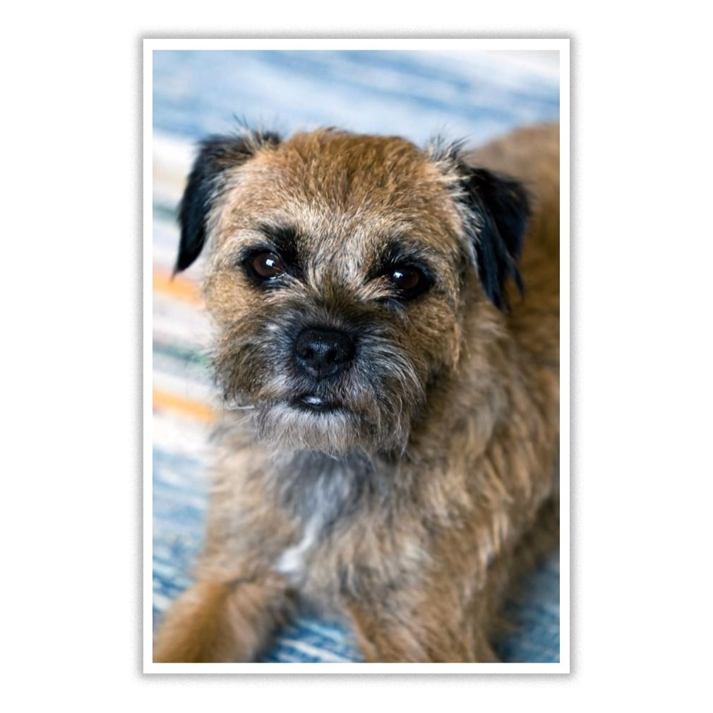 I Love Border Terrier Dog 19 Poster Border Terrier Border