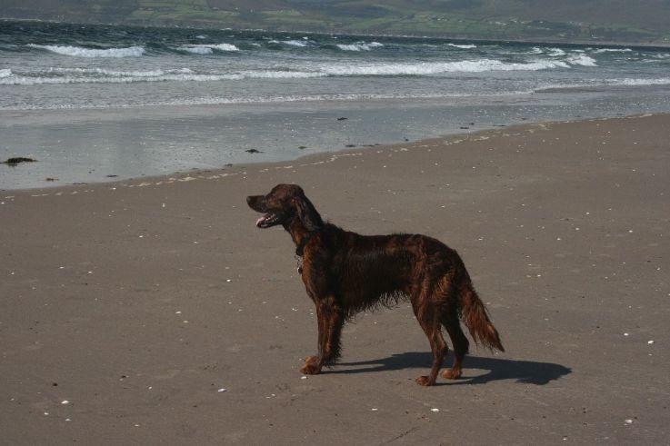 Ierse setter aan het strand