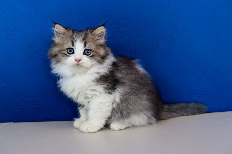 Ragdoll Kittens for Sale Near Me in 2020 Ragamuffin