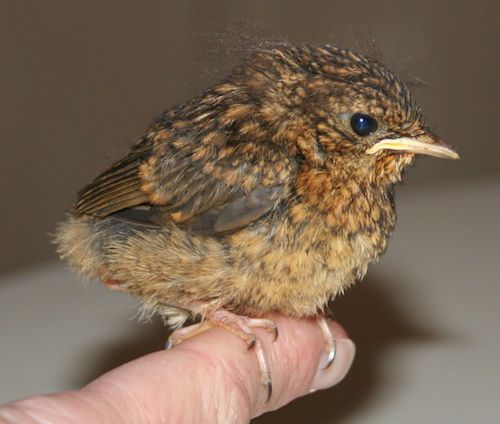 Insights With Dr Niamh Clune A Little Bird Told Me Baby Robin Little Bird Bird