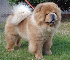 Grey Chow Chow Dog Google Search Chow Chow Dogs Chow Chow Dogs