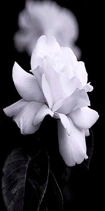 Black And White Photography White Rose Petal Flower Posters Art Prints Print Pictures Flower Frame