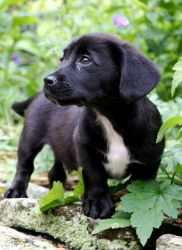 Adopt Gus On Spaniel Puppies Adoptable Dachshund Dog Dachshund