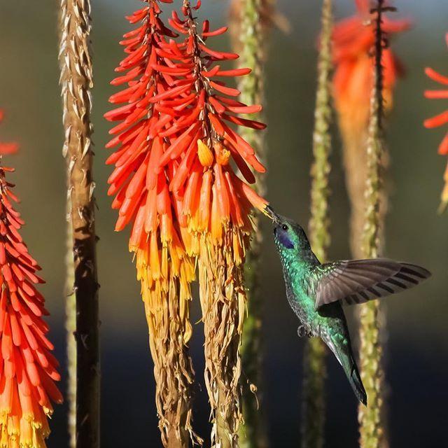 #knipofia #redhotpokers #garden #gardens #plants #plant #horticulture #flower #flowers #bird #birds #hummingbird