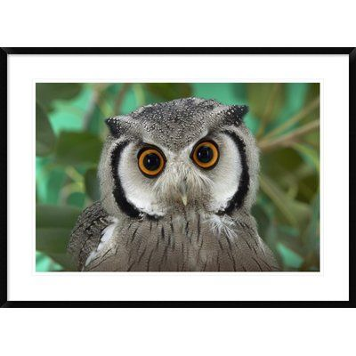 Global Gallery Southern Faced Owl Portrait, Native to Southern Africa by San Diego Zoo Framed Photographic Print Size: