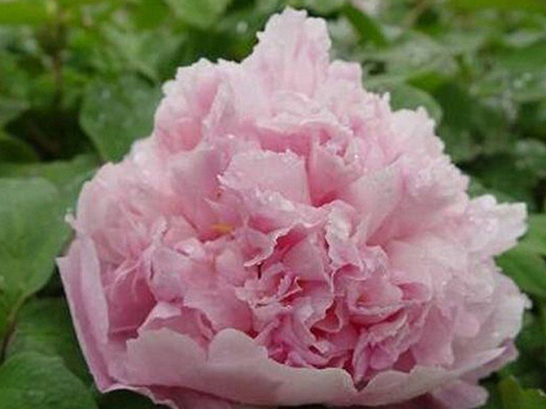 Amazon Best Garden Seeds New Rareou Sikui Multi Rose Petals