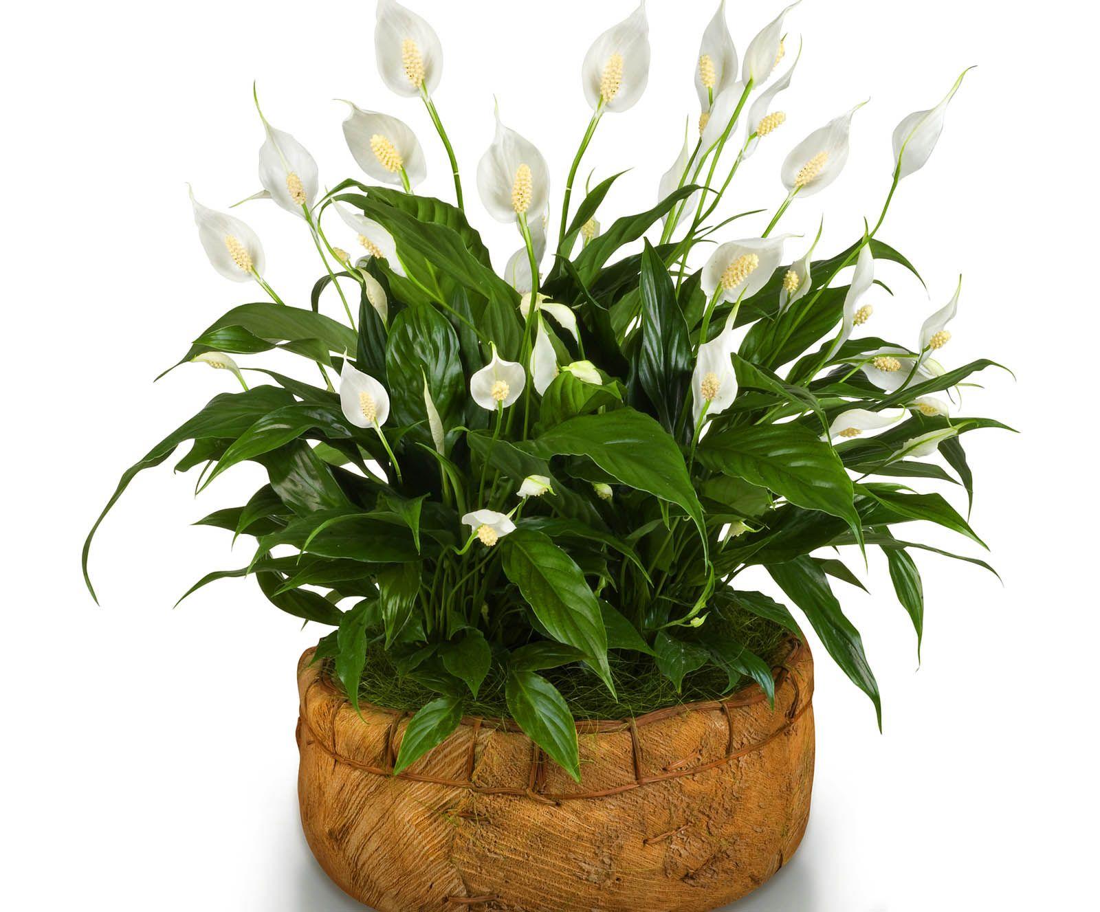 Картинки цветок спатифиллум фото