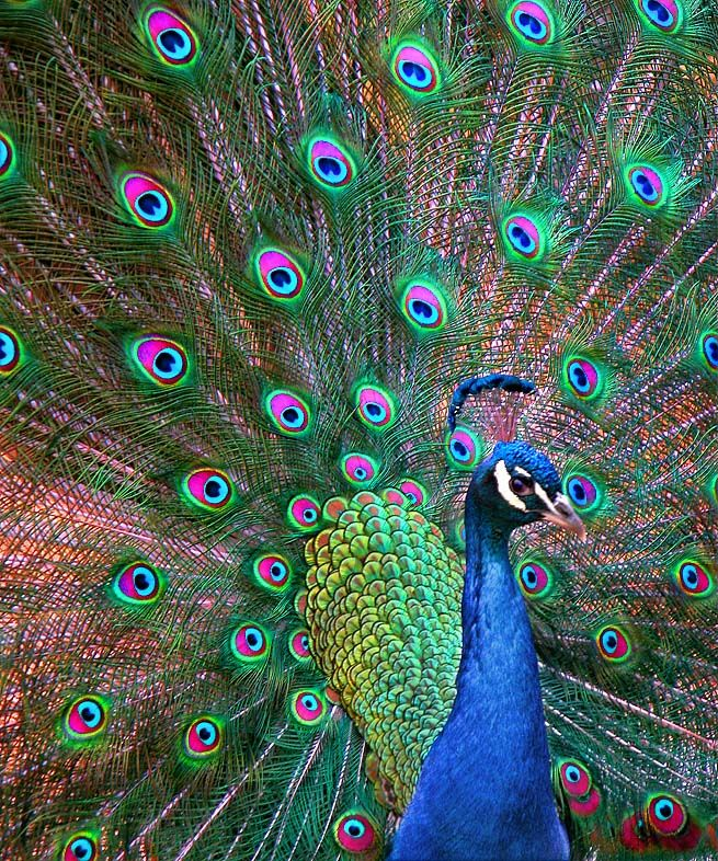 One of the most beautiful birds birds of a feather peacock photos peacock pictures - Beautiful peacock feather ...