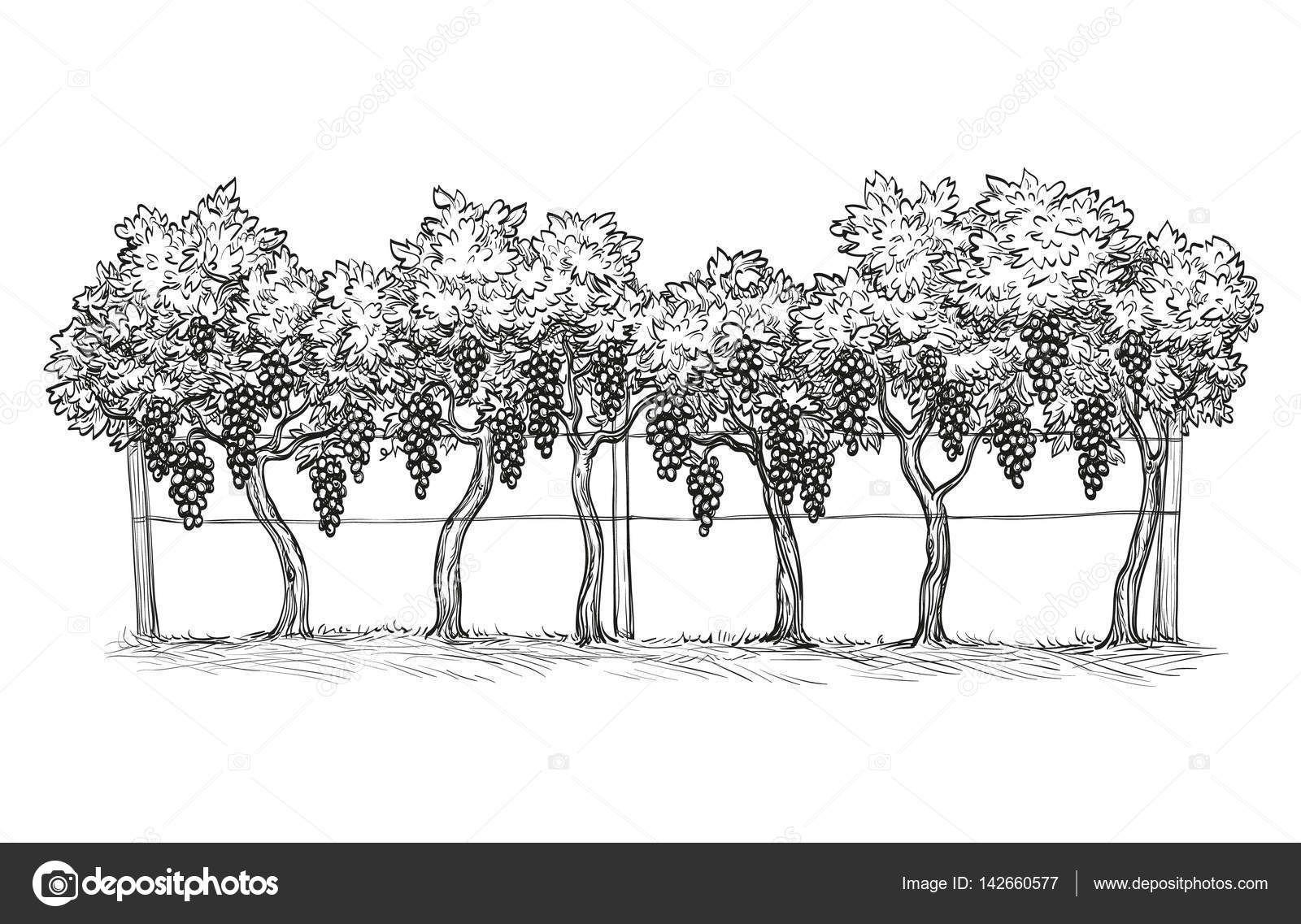 Stazeni Royalty Free Rucne Kreslene Vektorove Ilustrace Vinice Revy