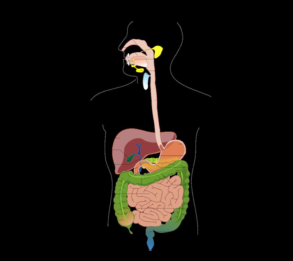 Digestive System Diagram File Digestive System Diagram No Labels Arrows Svg Digestive System Diagram Human Digestive System Digestive System