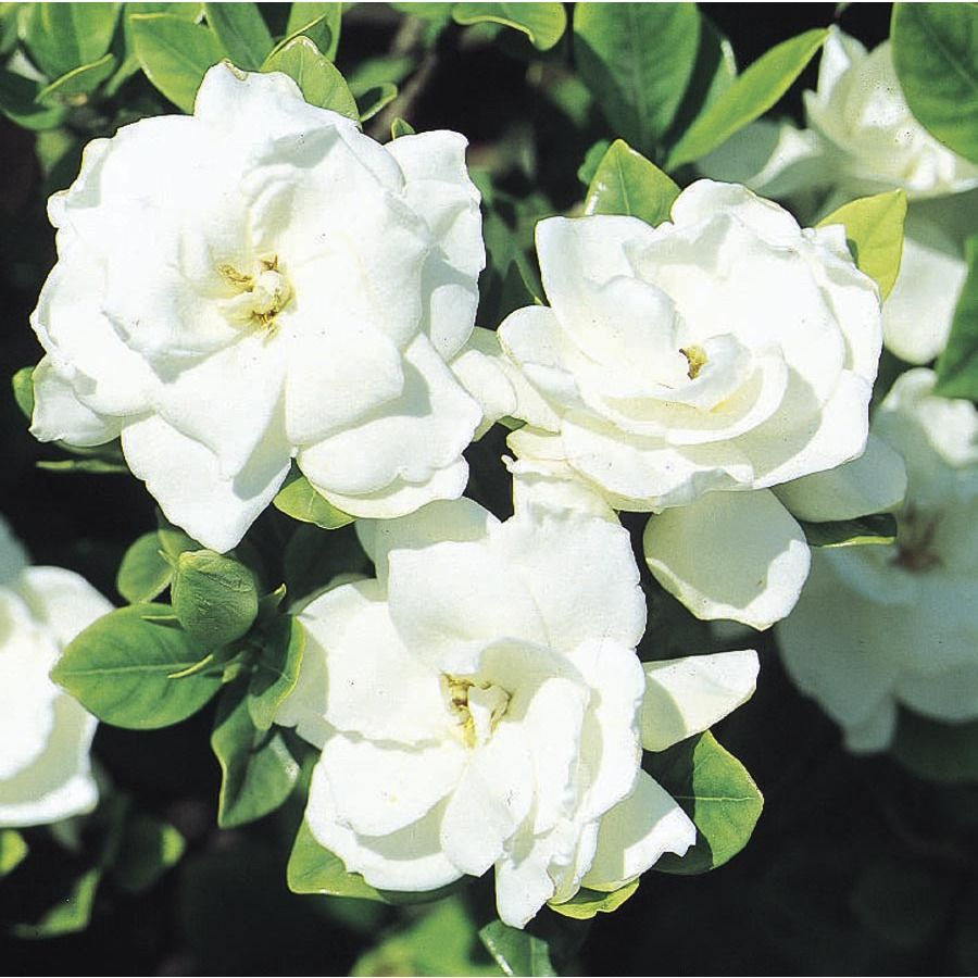 White Veitchii Gardenia Flowering Shrub In Pot With Soil L10719