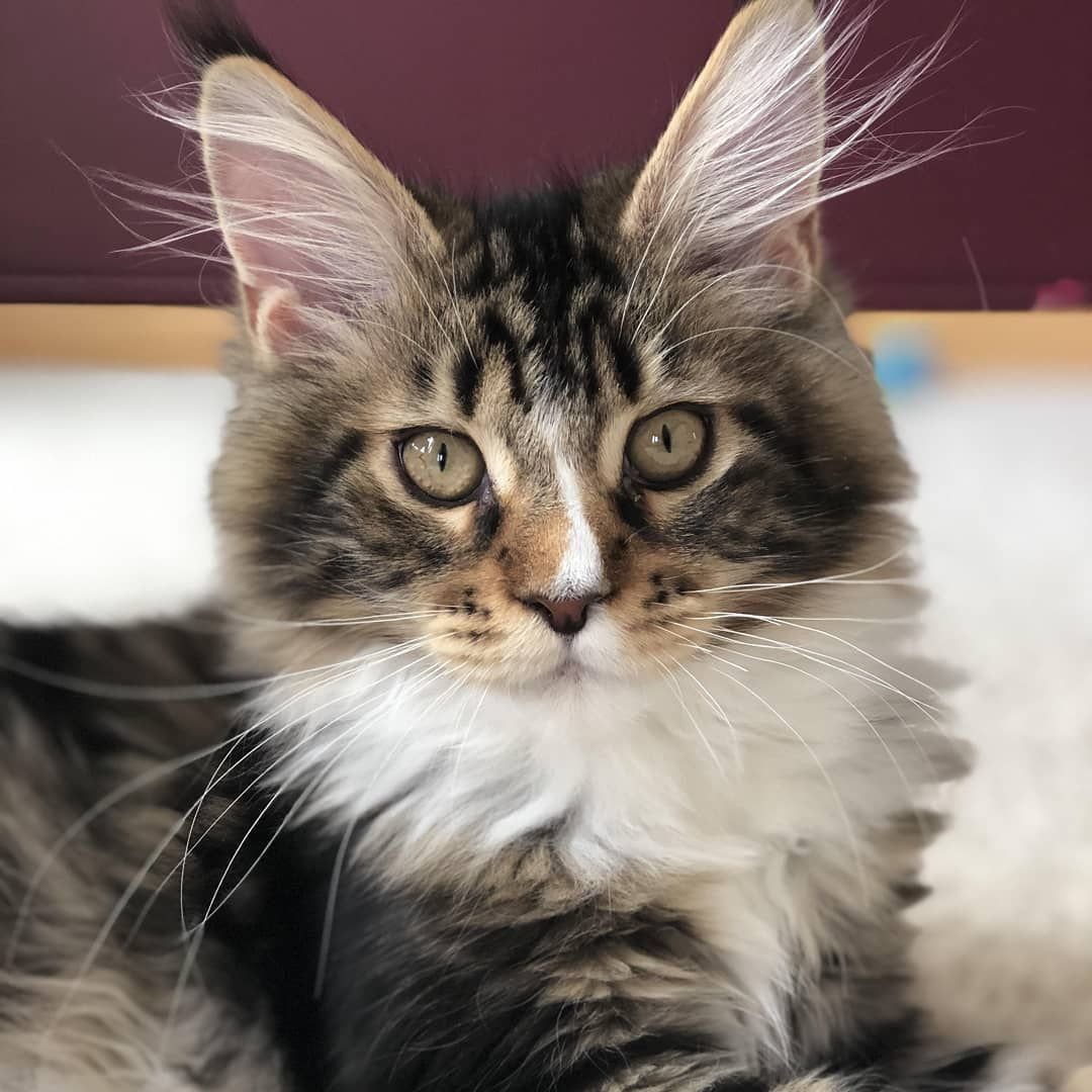Pin On Magical Maine Coons