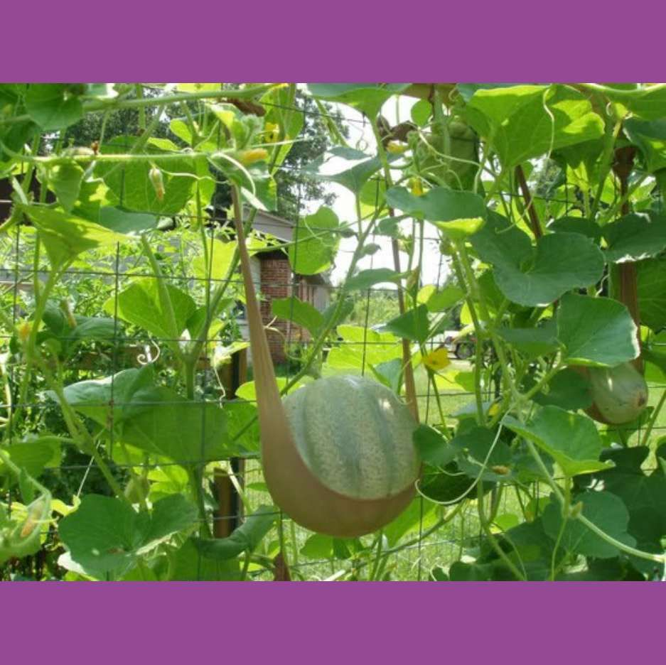 Nylon stockings to support vertically grown Cantaloupe. ~~~ trendy