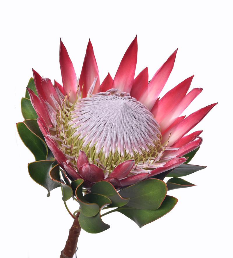 Protea Cynaroides Stock Photo Image Of Protea Flower Protea Sams Club Flowers