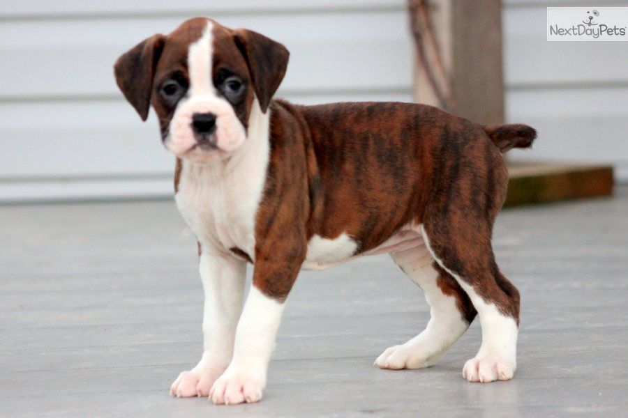 Boxer Puppy Pictures 5 Weeks Maggie A Cute Boxer Puppy For Sale For 850 Maggie Boxer Female Boxer Puppies Boxer Puppies For Sale Boxer Dogs