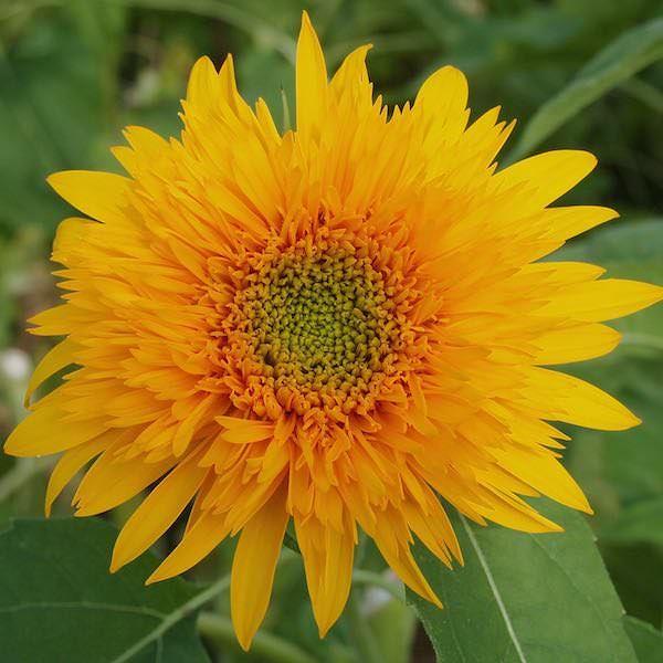 Sunflower Golden Cheer Annual Flower Seeds Annual Flowers Planting Sunflowers Flower Seeds