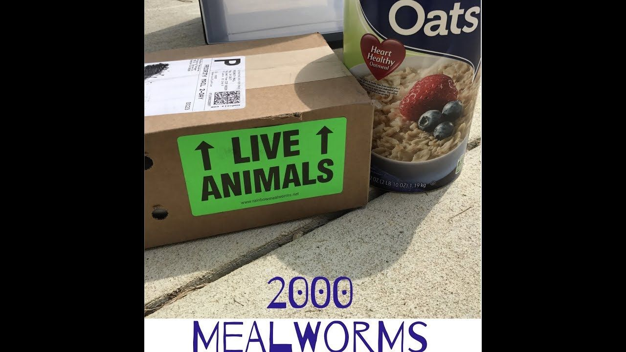 Unboxing Rainbow Mealworms in 2020 Keeping chickens