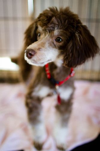 Adopt Brandy On Mini Poodles Poodle Puppies