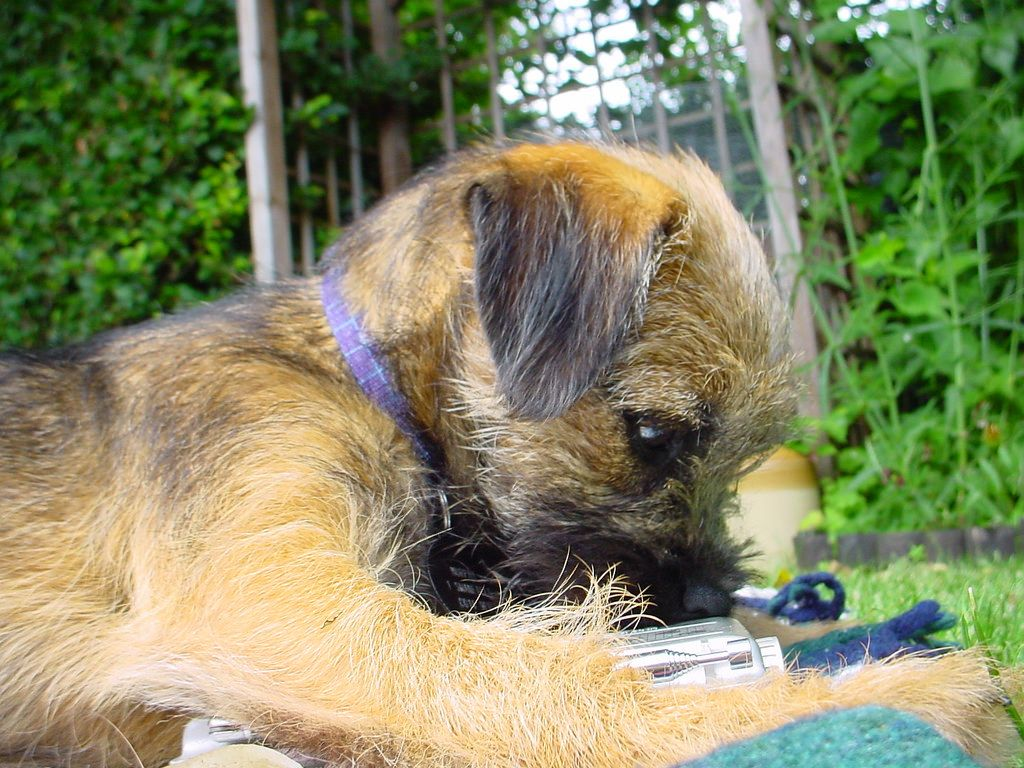 Radio Terrier Border Terrier Terrier Brown Dog