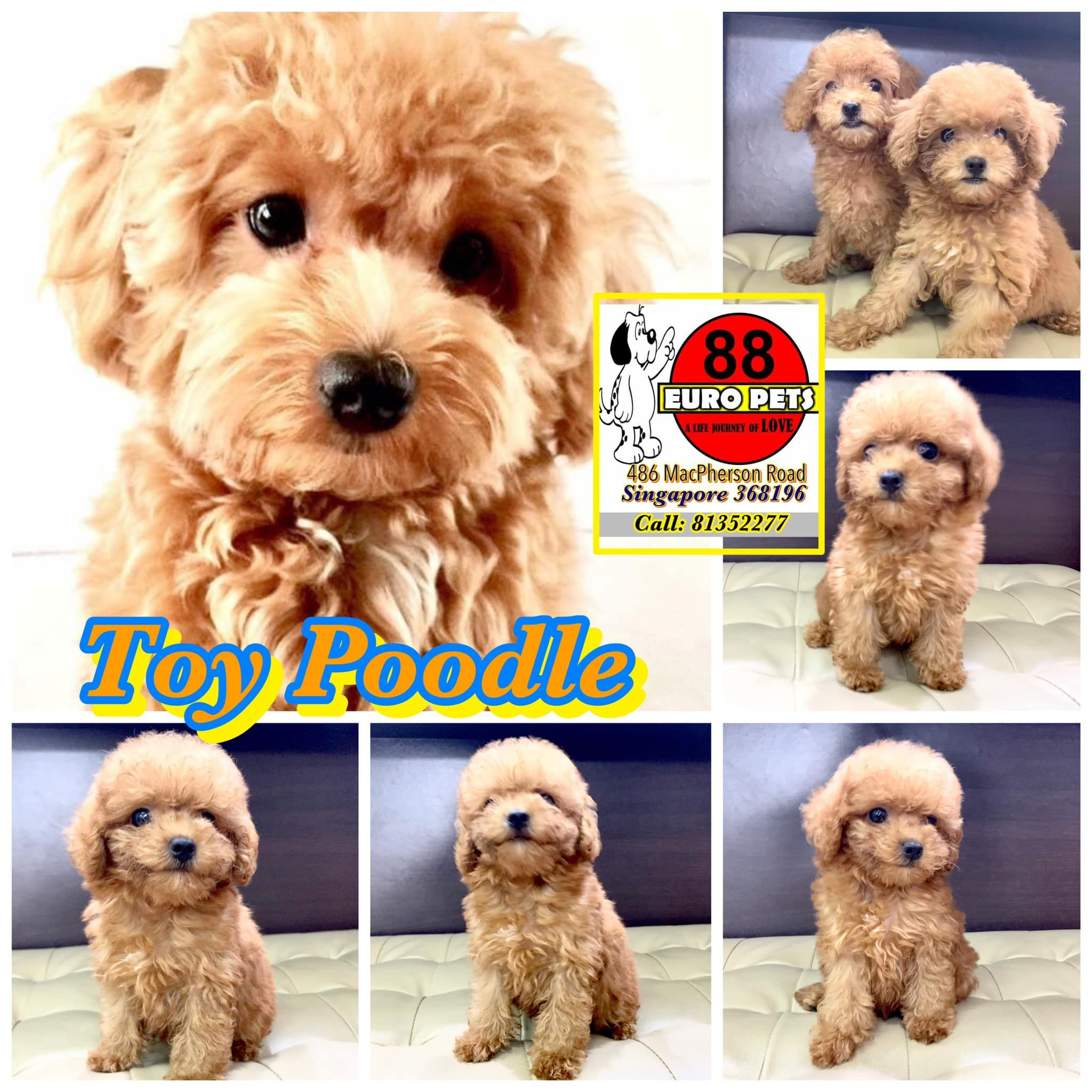 Toy Poodle Puppies For Sale Poodle Puppies For Sale Toy Poodle Puppies Puppies For Sale