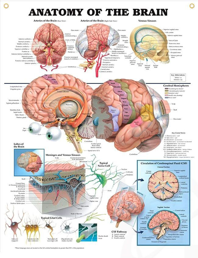 Anatomy of the brain chart 20x26 pinterest brain anatomy anatomy of the brain anatomy poster depicts base and right side views of arteries of the brain as well as venous sinuses ccuart Choice Image