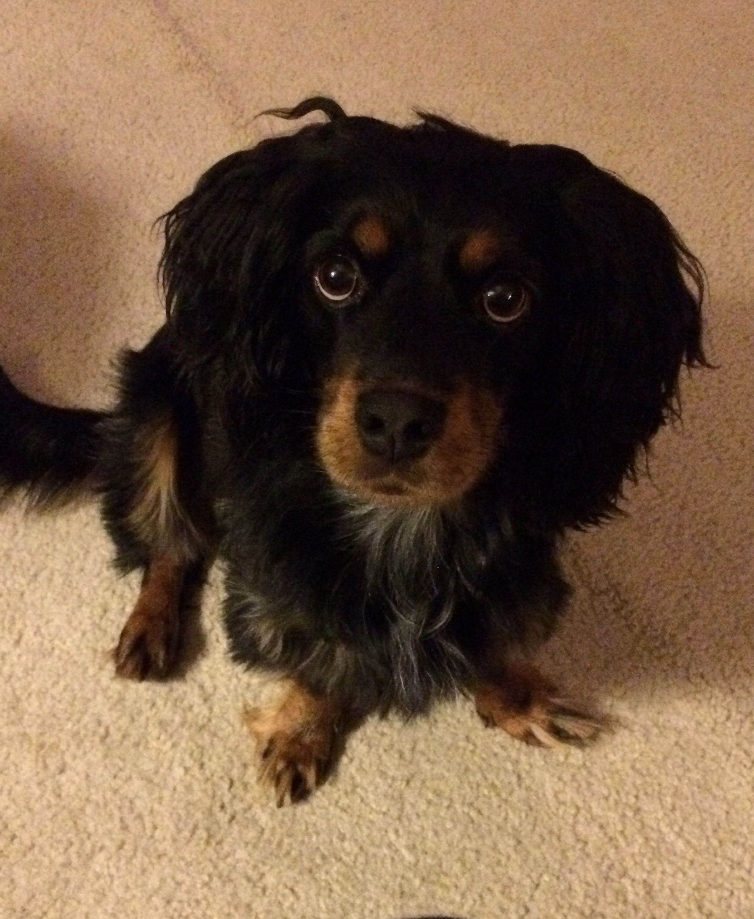 Docker Dockers Dachshund Cocker Spaniel Hybrid Info And Pictures