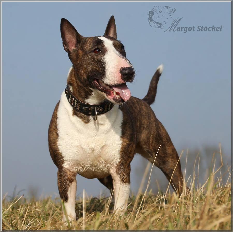 Bullterrier Dog Aktuell Das Hundemagazin Hunde Englischer Bullterrier Und Terrier